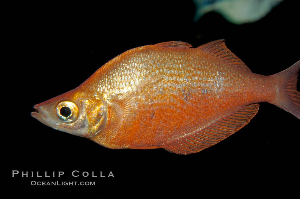 Red rainbowfish., Glossolepis incisus, natural history stock photograph, photo id 09288