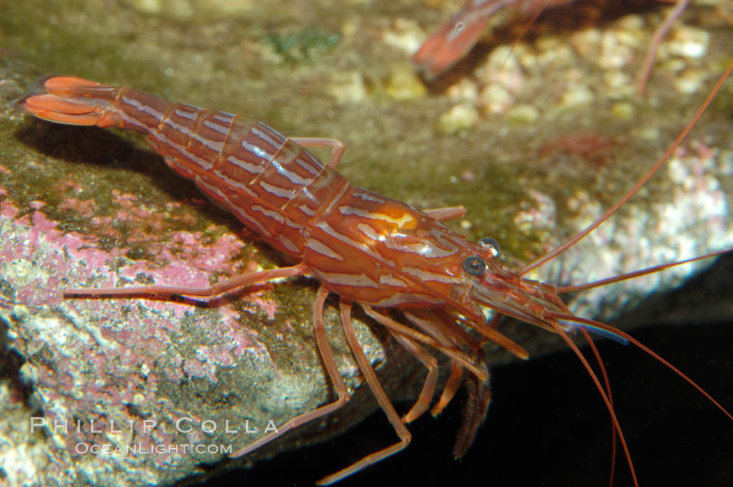 Red rock shrimp., Lysmata californica, natural history stock photograph, photo id 08640
