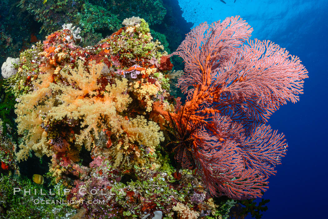 Red Sea Fan Gorgonians and Yellow Dendronephthya Soft Corals, Fiji., Dendronephthya, Gorgonacea, Plexauridae, natural history stock photograph, photo id 31608