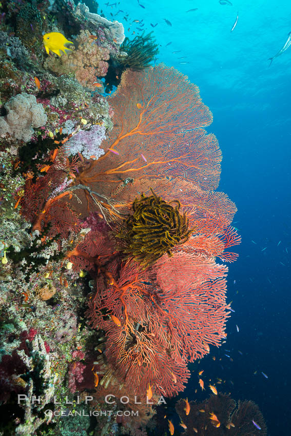 Plexauridae Sea Fan Gorgonians with Crinoid Attached, Fiji. Namena Marine Reserve, Namena Island, Fiji, Crinoidea, Gorgonacea, Plexauridae, natural history stock photograph, photo id 31595