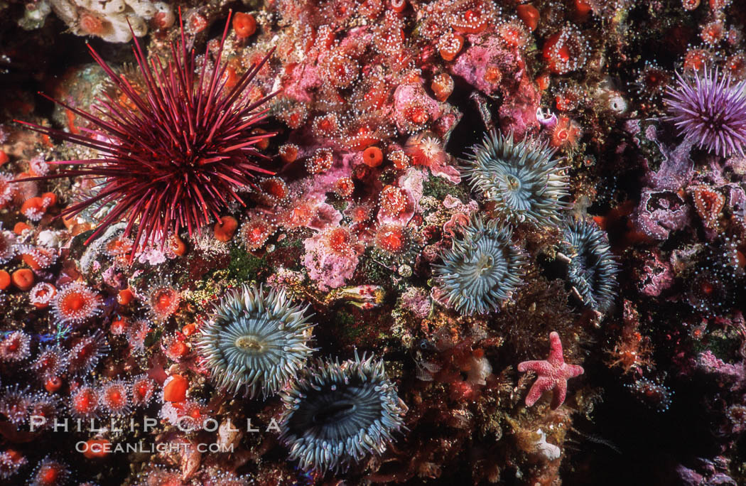 Red urchin, strawberry anemones and aggregating anemones on rocky California reef. USA, Strogylocentrotus franciscanus, Anthopleura elegantissima, Corynactis californica, natural history stock photograph, photo id 03798