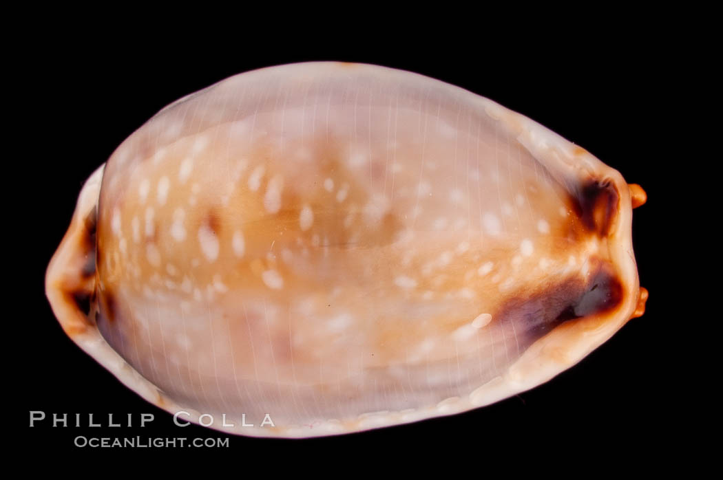 Reents' Cowrie., Cypraea gangranosa reentsii, natural history stock photograph, photo id 08025