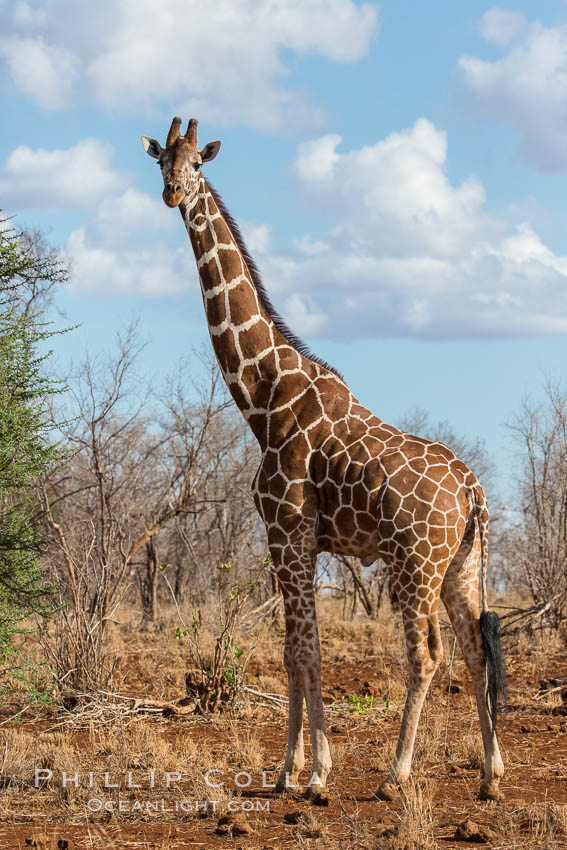 Reticulated giraffe, Meru National Park. Kenya, Giraffa camelopardalis reticulata, natural history stock photograph, photo id 29670