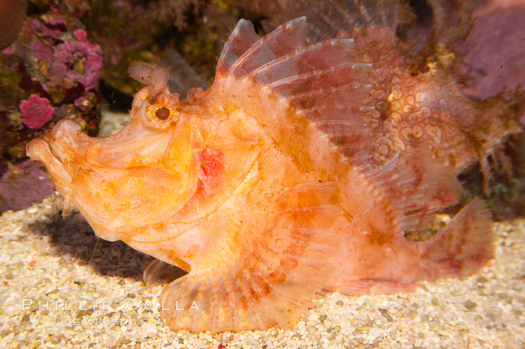 Weedy scorpionfish.  Tropical scorpionfishes are camoflage experts, changing color and apparent texture in order to masquerade as rocks, clumps of algae or detritus., Rhinopias frondossa, natural history stock photograph, photo id 12897