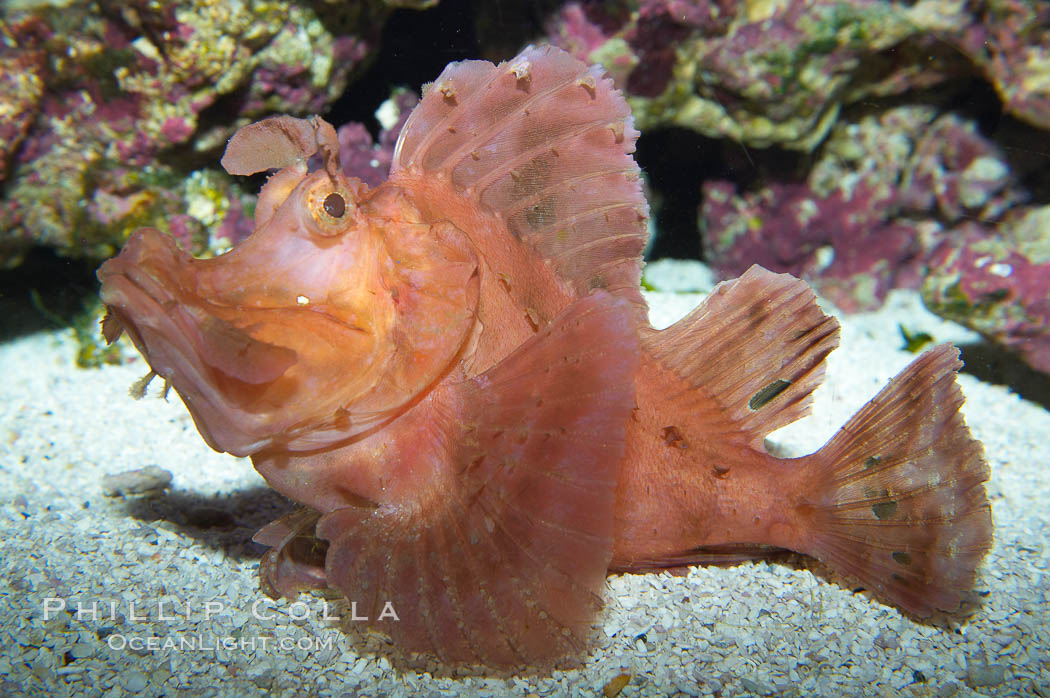 Scorpionfish., Rhinopias, natural history stock photograph, photo id 13671