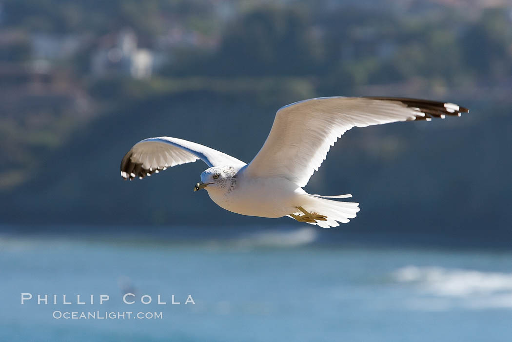 Ring-billed gull in flight. La Jolla, California, USA, Larus delawarensis, natural history stock photograph, photo id 18302