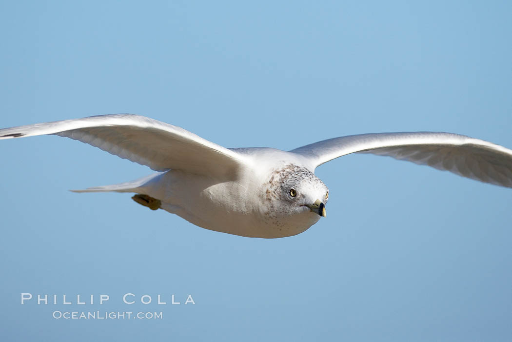Ring-billed gull in flight. La Jolla, California, USA, Larus delawarensis, natural history stock photograph, photo id 18386