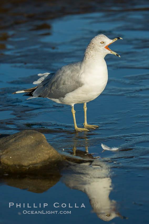 Ring-billed gull. La Jolla, California, USA, Larus delawarensis, natural history stock photograph, photo id 30355