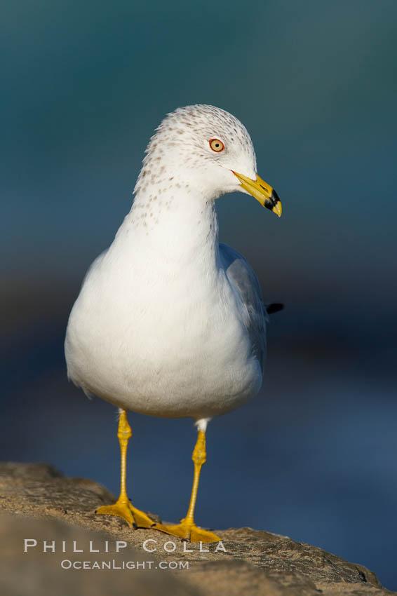 Ring-billed gull. La Jolla, California, USA, Larus delawarensis, natural history stock photograph, photo id 18300