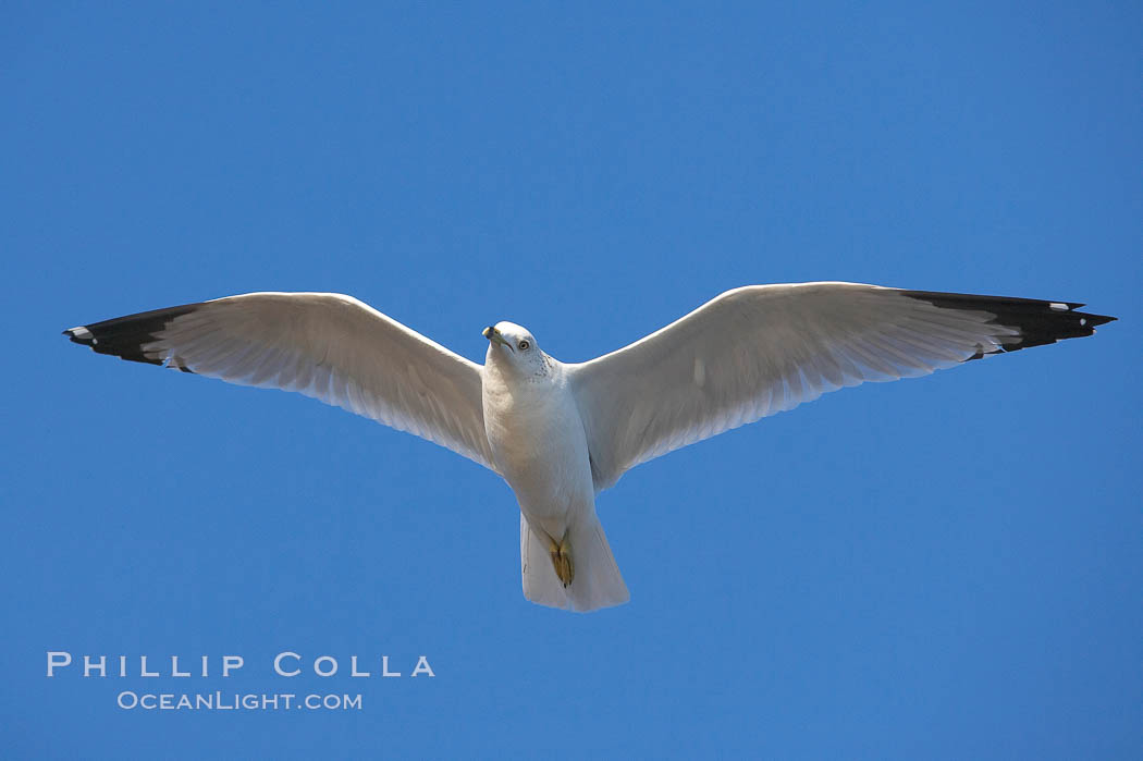 Ring-billed gull in flight. La Jolla, California, USA, Larus delawarensis, natural history stock photograph, photo id 18303