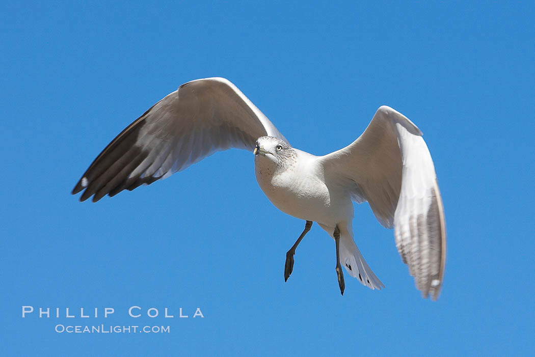 Ring-billed gull in flight. La Jolla, California, USA, Larus delawarensis, natural history stock photograph, photo id 18301