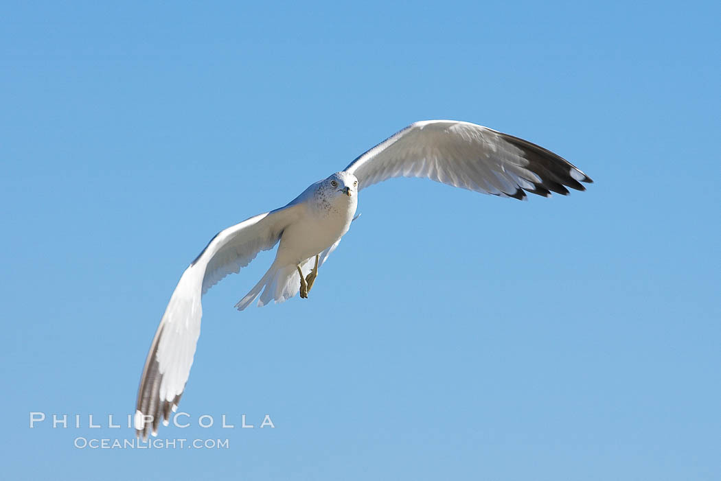 Ring-billed gull in flight. La Jolla, California, USA, Larus delawarensis, natural history stock photograph, photo id 18305