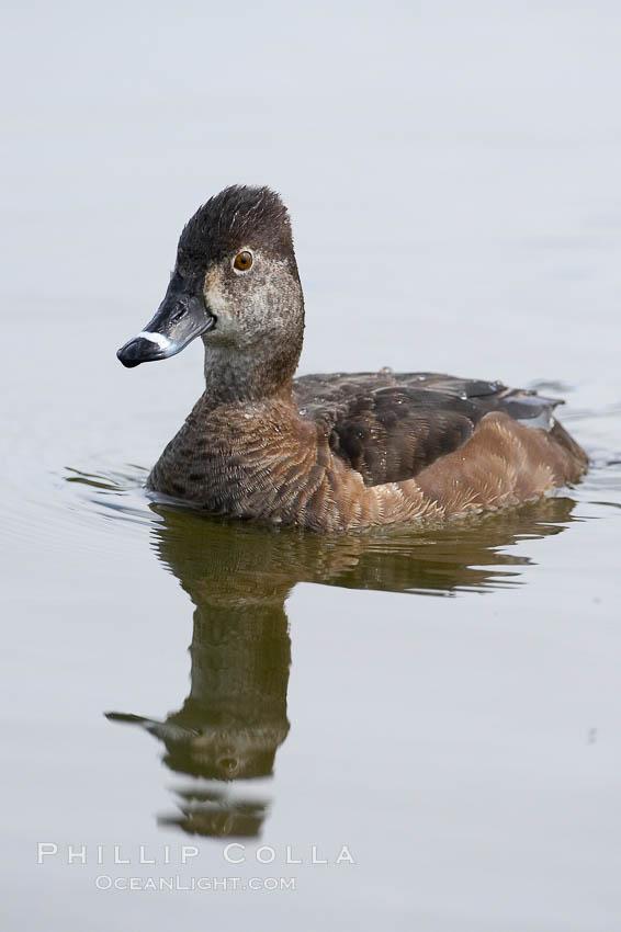 Image 15739, Ring-necked duck, female. Santee Lakes, Santee, California, USA, Aythya collaris