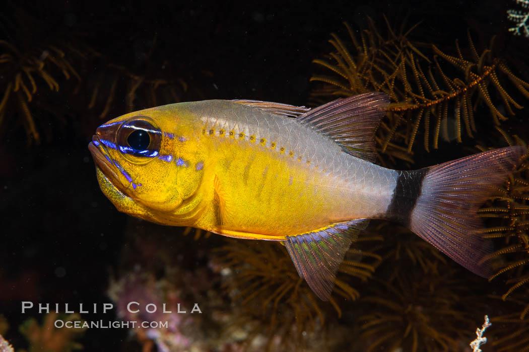 Ring-tailed cardinal fish, Male tending eggs in his mouth, Ostorhinchus aureus, Fiji. Namena Marine Reserve, Namena Island, Fiji, Ostorhinchus aureus, natural history stock photograph, photo id 34786