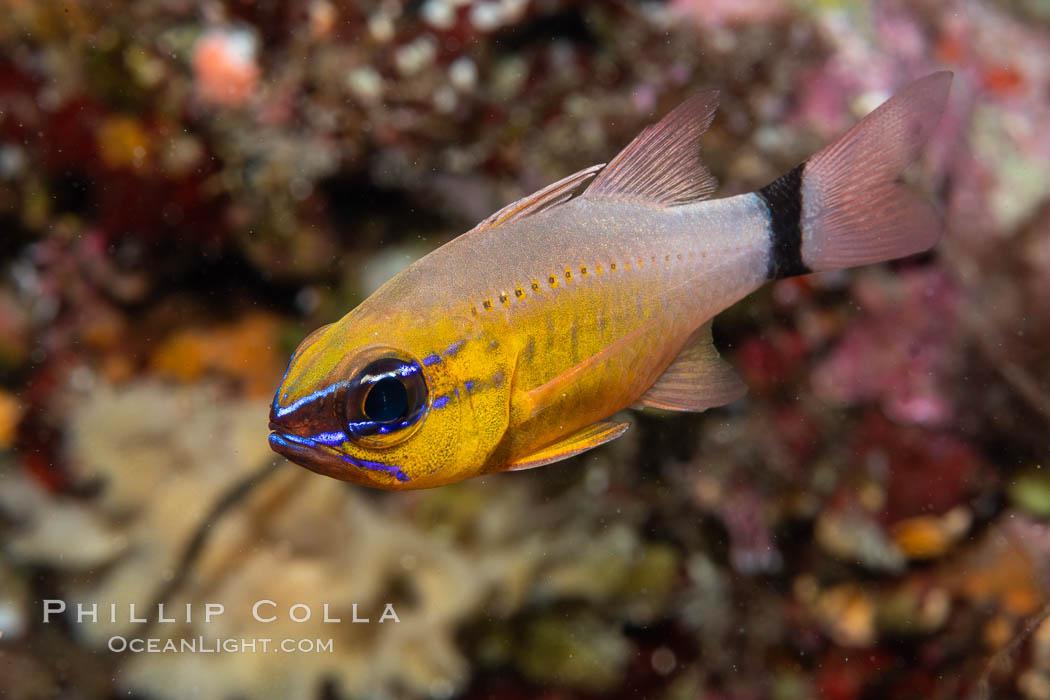 Ring-tailed cardinal fish, Ostorhinchus aureus, Fiji. Namena Marine Reserve, Namena Island, Fiji, Ostorhinchus aureus, natural history stock photograph, photo id 34944