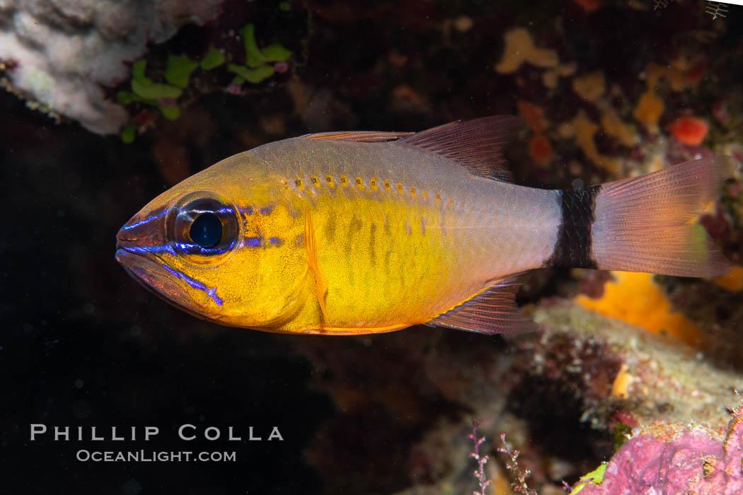 Ring-tailed cardinal fish, Ostorhinchus aureus, Fiji. Namena Marine Reserve, Namena Island, Fiji, Ostorhinchus aureus, natural history stock photograph, photo id 35000