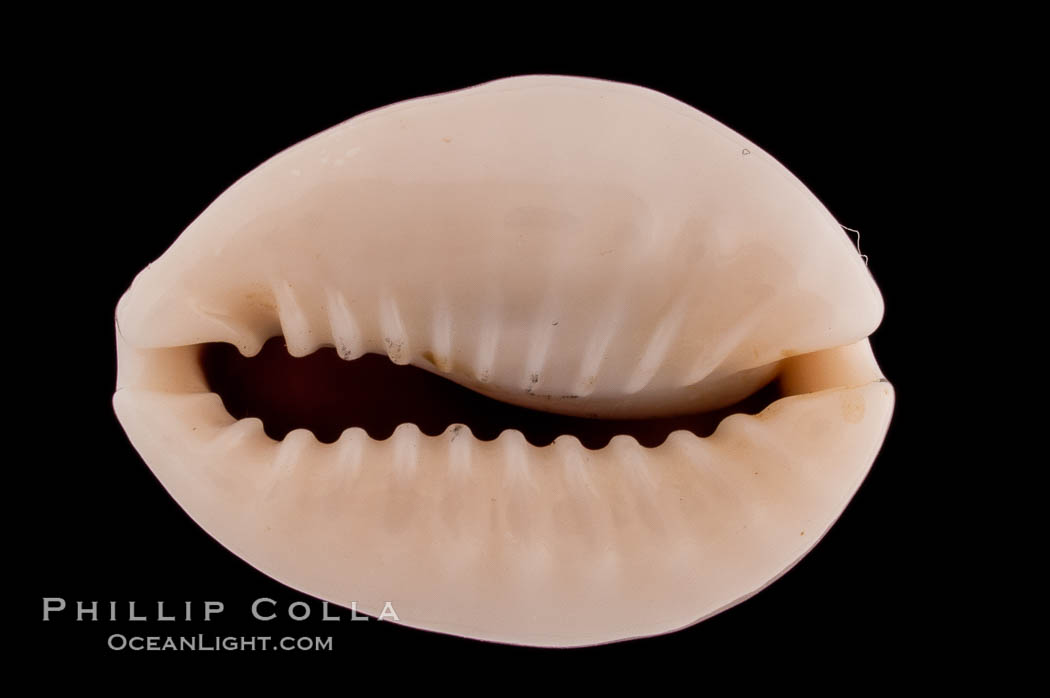 Ringless Bulging Cowrie., Cypraea obvelata perrieri, natural history stock photograph, photo id 08232