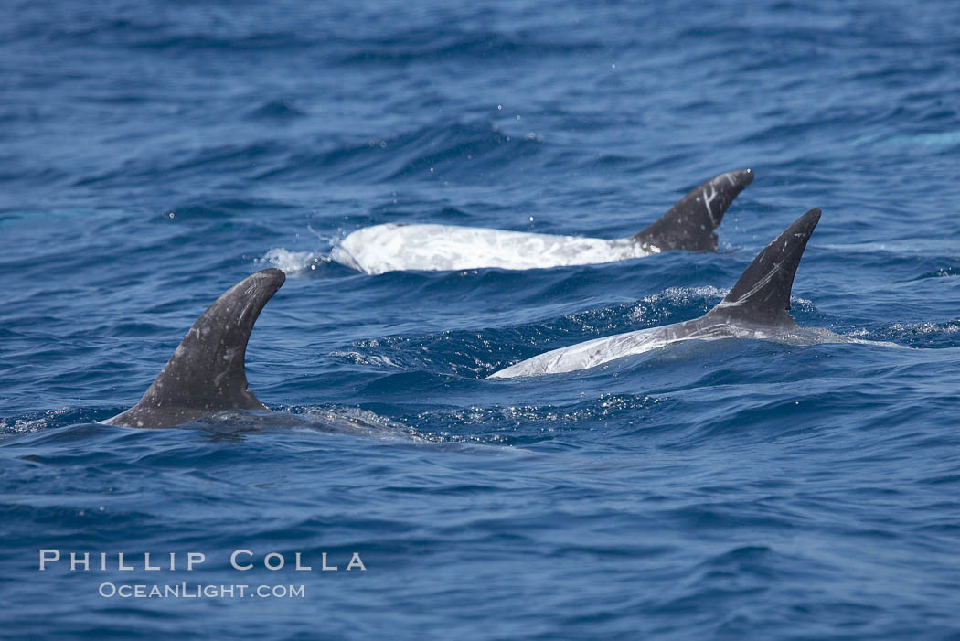 A group of Rissos dolphins. San Diego. San Diego, California, USA, Grampus griseus, natural history stock photograph, photo id 12798