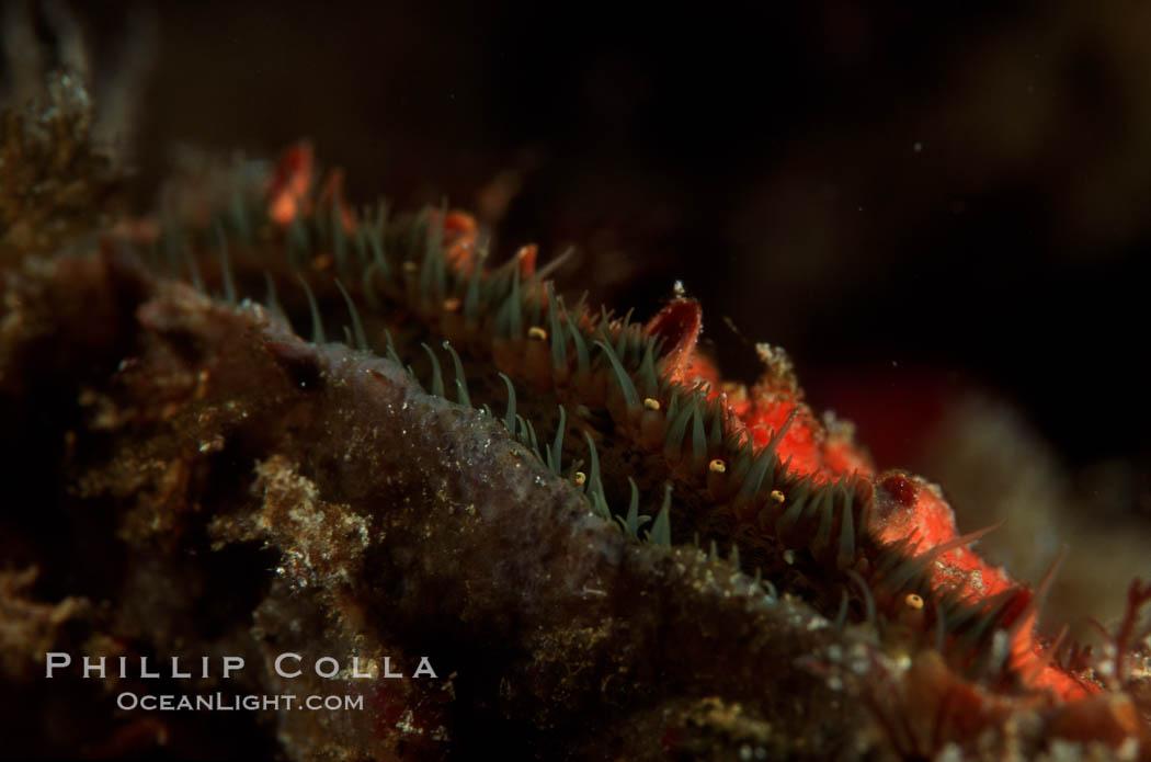 Rock scallop showing sight organs. Anacapa Island, California, USA, Crassedoma giganteum, natural history stock photograph, photo id 02552