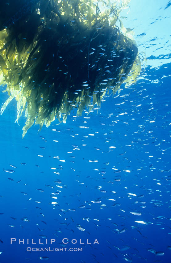 Juvenile rockfish school under a patch of drift kelp, open ocean. San Diego, California, USA, natural history stock photograph, photo id 07001