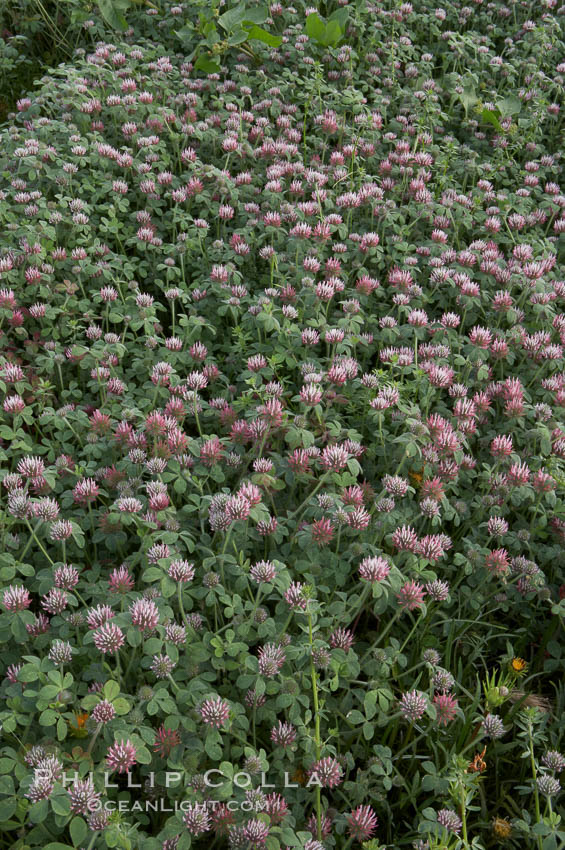 Rose clover blooms in spring. Carlsbad, California, USA, Trifolium hirtum, natural history stock photograph, photo id 11454