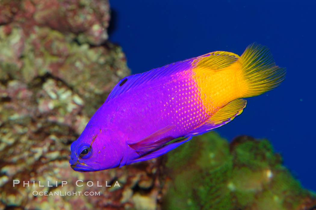 Royal gramma basslet., Gramma loreto, natural history stock photograph, photo id 08680