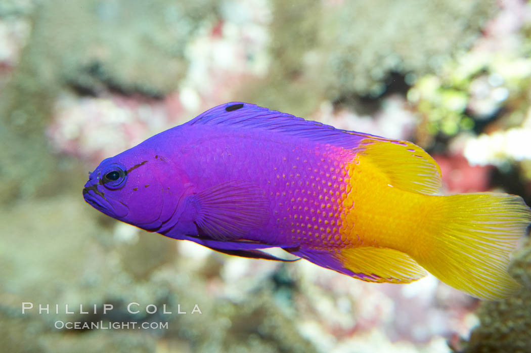 Royal gramma basslet., Gramma loreto, natural history stock photograph, photo id 11827