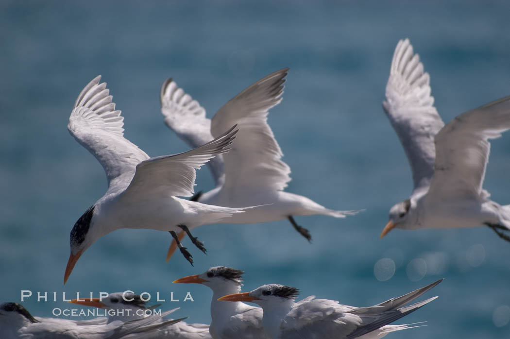 Royal terns. Great Isaac Island, Bahamas, Sterna maxima, natural history stock photograph, photo id 10823