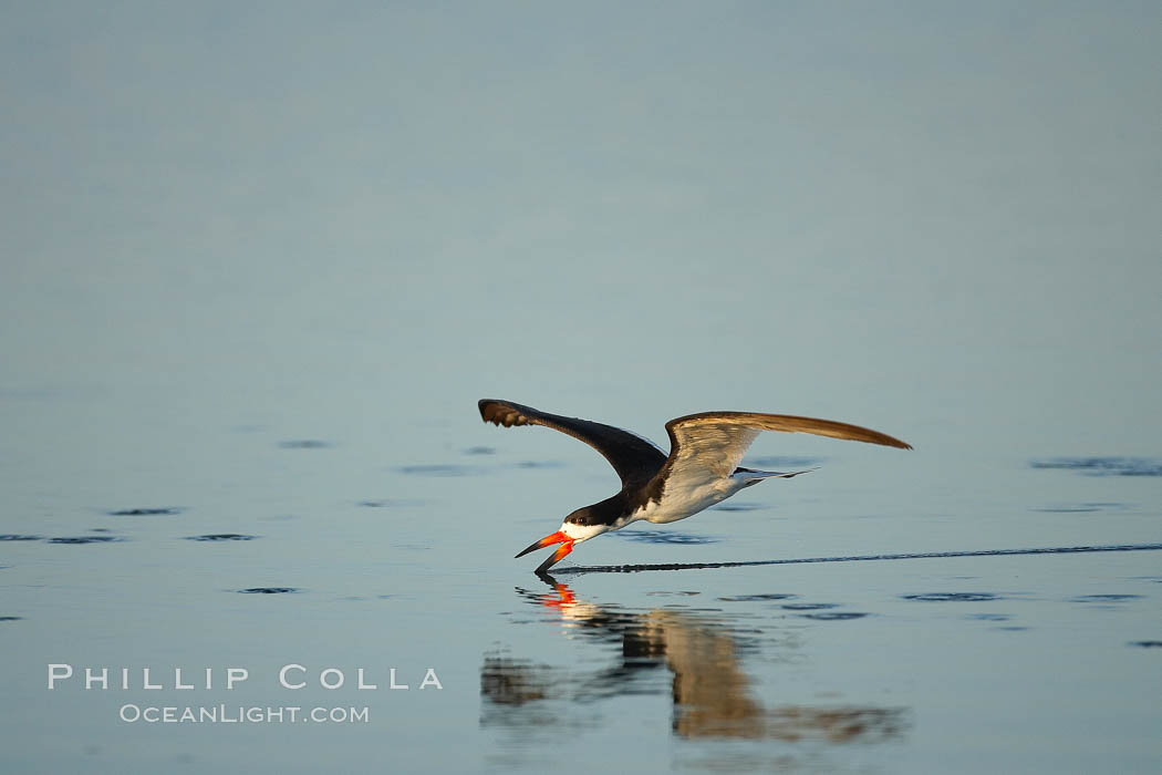 Black skimmer forages by flying over shallow water with its lower mandible dipping below the surface for small fish. San Diego Bay National Wildlife Refuge, California, USA, Rynchops niger, natural history stock photograph, photo id 17438