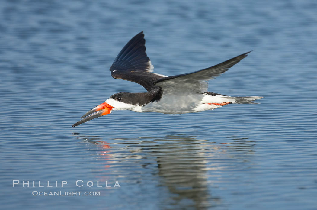 Black skimmer forages by flying over shallow water with its lower mandible dipping below the surface for small fish. San Diego Bay National Wildlife Refuge, San Diego, California, USA, Rynchops niger, natural history stock photograph, photo id 17423