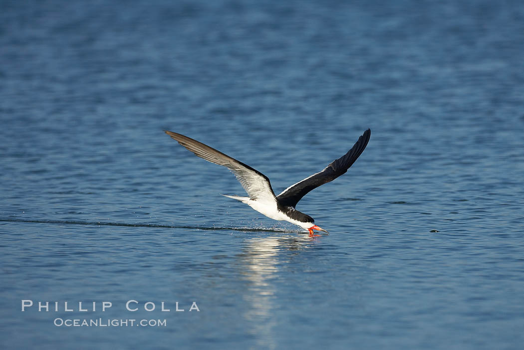 Black skimmer forages by flying over shallow water with its lower mandible dipping below the surface for small fish. San Diego Bay National Wildlife Refuge, California, USA, Rynchops niger, natural history stock photograph, photo id 17435