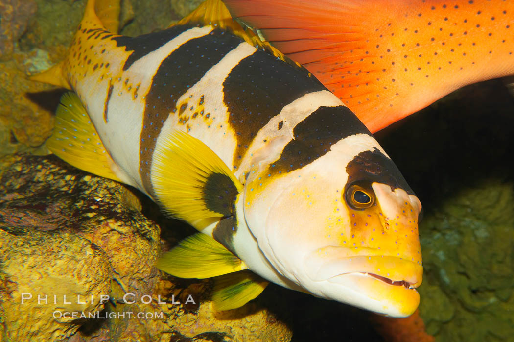 Saddleback coralgrouper., Plectropomus laevis, natural history stock photograph, photo id 12919