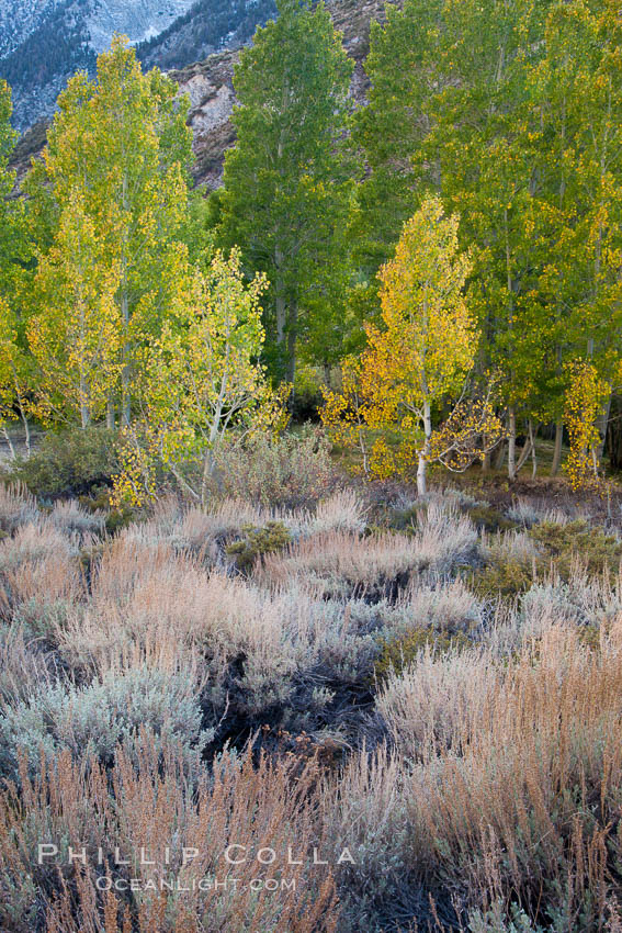 Sage brush and aspen trees, autumn, in the shade of Bishop Creek Canyon in the Sierra Nevada. Bishop Creek Canyon Sierra Nevada Mountains, California, USA, Populus tremuloides, natural history stock photograph, photo id 26075