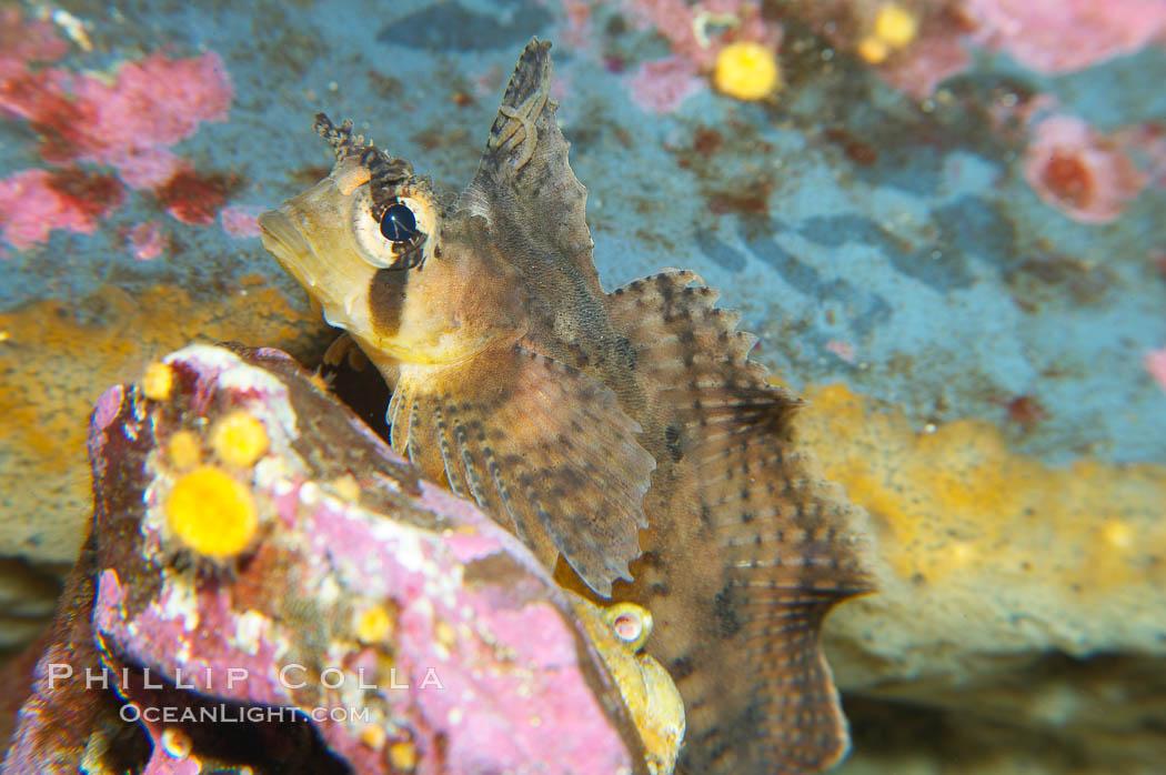 Sailfin sculpin., Nautichthys oculofasciatus, natural history stock photograph, photo id 13703