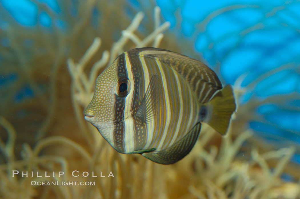 Image 07795, Sailfin tang., Zebrasoma veliferum, Phillip Colla, all rights reserved worldwide. Keywords: animal, fish, indo-pacific, marine fish, sailfin tang, tang, underwater, zebrasoma veliferum.