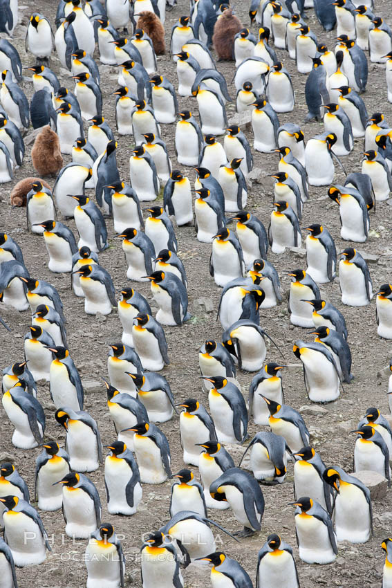 King penguin colony. Over 100,000 pairs of king penguins nest at Salisbury Plain, laying eggs in December and February, then alternating roles between foraging for food and caring for the egg or chick. Salisbury Plain, South Georgia Island, Aptenodytes patagonicus, natural history stock photograph, photo id 24434
