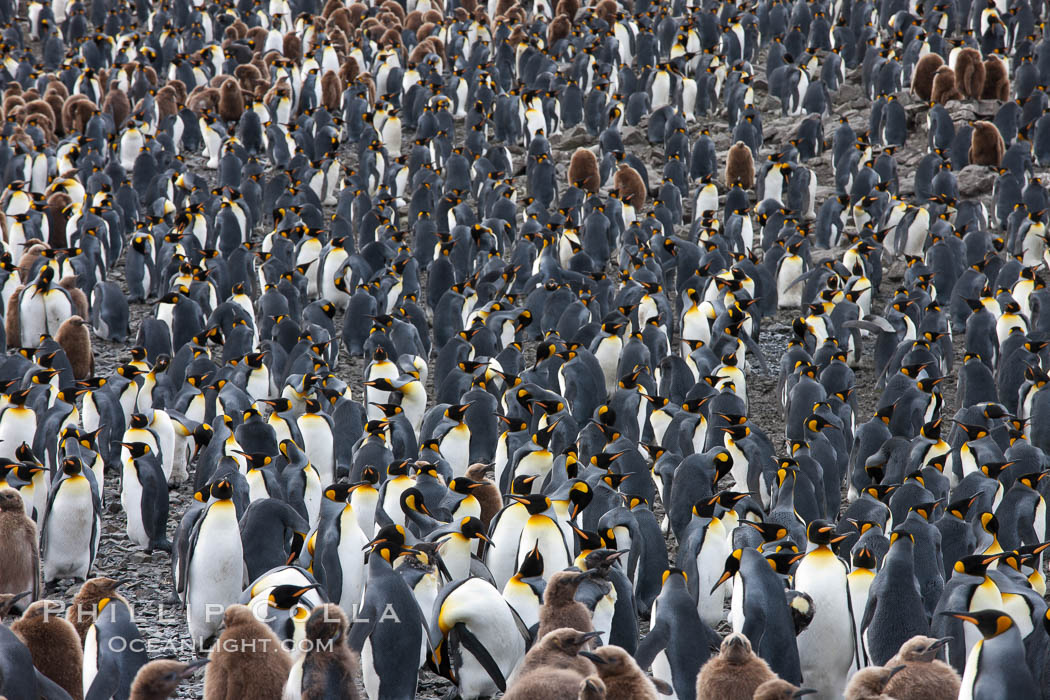 King penguin colony. Over 100,000 pairs of king penguins nest at Salisbury Plain, laying eggs in December and February, then alternating roles between foraging for food and caring for the egg or chick. Salisbury Plain, South Georgia Island, Aptenodytes patagonicus, natural history stock photograph, photo id 24451