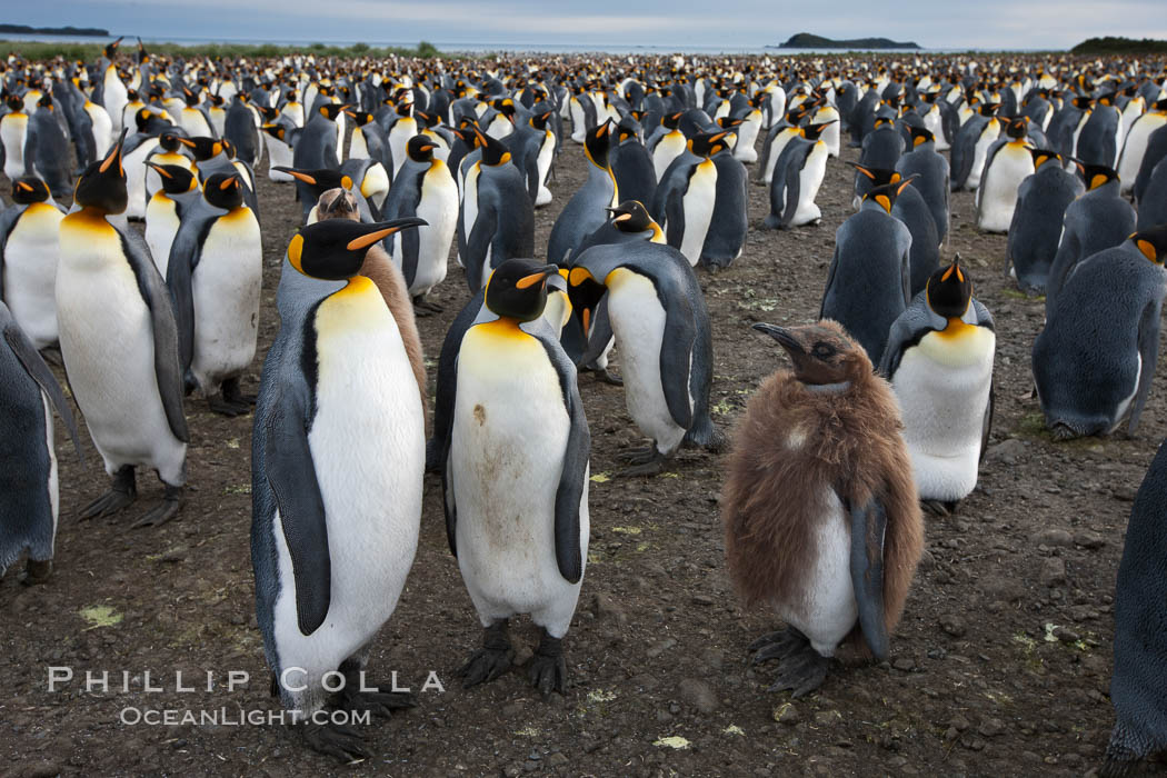 King penguins at Salisbury Plain.  Silver and black penguins are adults, while brown penguins are 'oakum boys', juveniles named for their distinctive fluffy plumage that will soon molt and taken on adult coloration. Salisbury Plain, South Georgia Island, Aptenodytes patagonicus, natural history stock photograph, photo id 24457