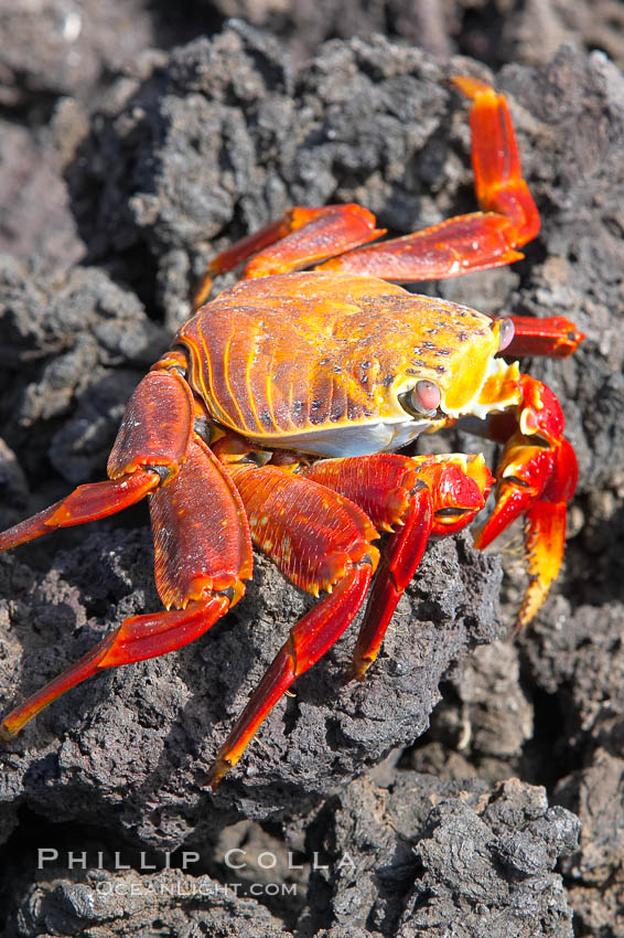 Sally lightfoot crab on volcanic rocks, Punta Albemarle. Isabella Island, Galapagos Islands, Ecuador, Grapsus grapsus, natural history stock photograph, photo id 16605
