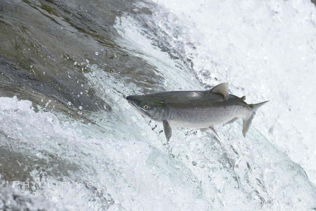 Salmon leap up falls on their upriver journey to spawn, Brooks Falls. Brooks River, Katmai National Park, Alaska, USA, natural history stock photograph, photo id 17366