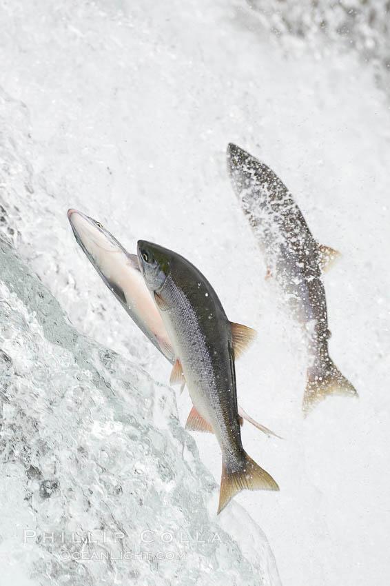 Salmon leap up falls on their upriver journey to spawn, Brooks Falls. Brooks River, Katmai National Park, Alaska, USA, natural history stock photograph, photo id 17368