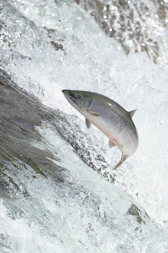 Salmon leap up falls on their upriver journey to spawn, Brooks Falls. Brooks River, Katmai National Park, Alaska, USA, natural history stock photograph, photo id 17365