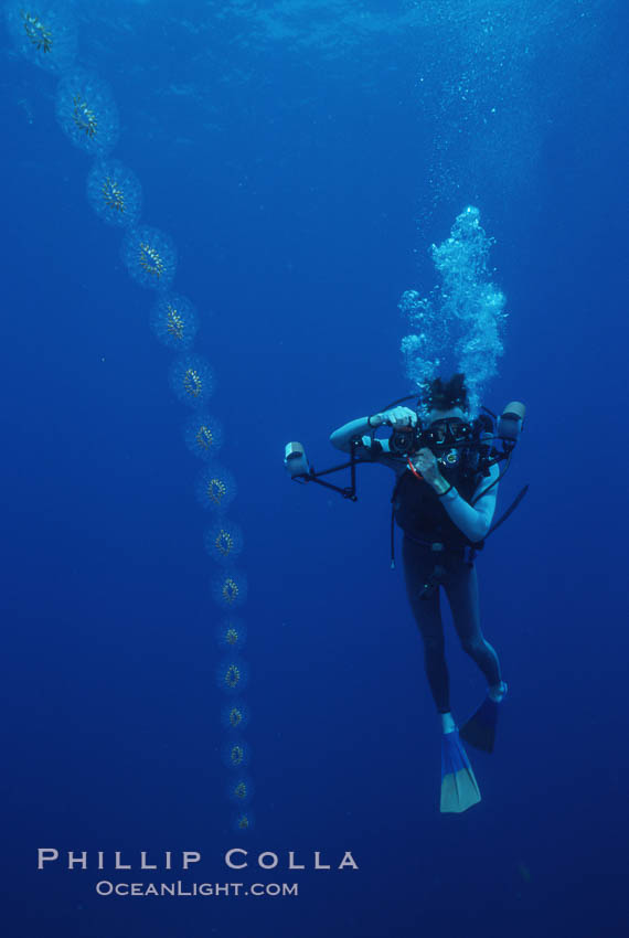 Salp chain and diver, open ocean. San Diego, California, USA, Cyclosalpa affinis, natural history stock photograph, photo id 05344
