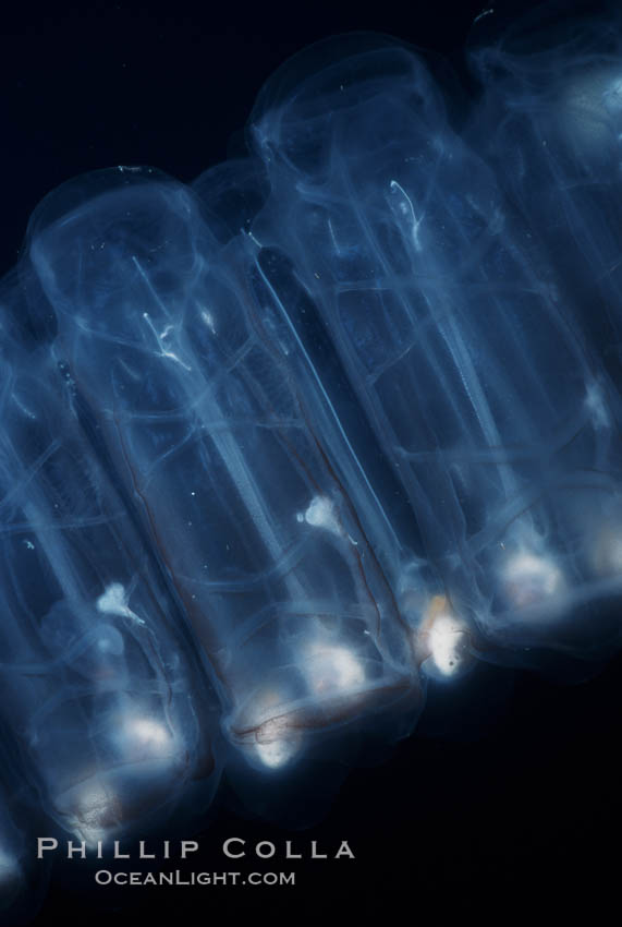 Salp (pelagic tunicate), open ocean. San Diego, California, USA, Pegea confoederata, natural history stock photograph, photo id 05807