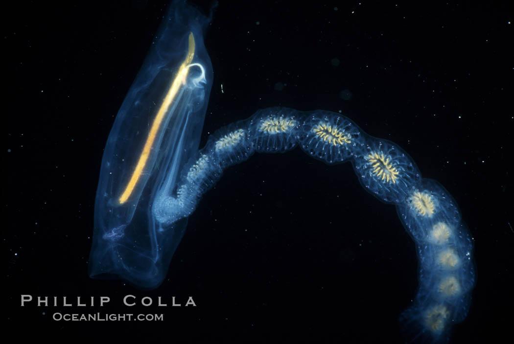 Image 03770, Salp (pelagic tunicate) reproduction, open ocean. San Diego, California, USA, Cyclosalpa affinis, Phillip Colla, all rights reserved worldwide. Keywords: animal, california, chordata, creature, cyclosalpa affinis, invertebrate, marine invertebrate, marine invertebrate behavior, nature, notochord, ocean, oceans, pacific, pelagic tunicate, plankton, reproduction mating, salp, salp chain, salpidae, san diego, thalicea, tunicate, tunicates, underwater, urochordata, usa, wildlife.