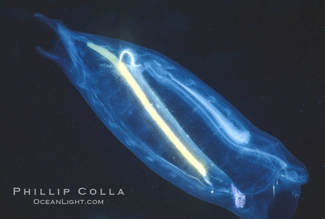 Salp (pelagic tunicate) reproduction, open ocean. San Diego, California, USA, Cyclosalpa affinis, natural history stock photograph, photo id 05338