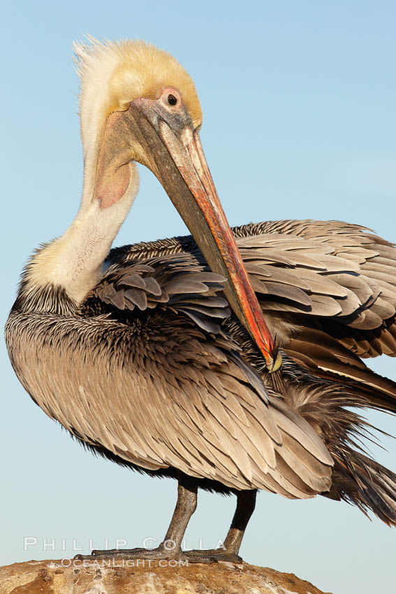 Image 22271, A brown pelican preening, reaching with its beak to the uropygial gland (preen gland) near the base of its tail. Preen oil from the uropygial gland is spread by the pelican's beak and back of its head to all other feathers on the pelican, helping to keep them water resistant and dry. La Jolla, California, USA, Pelecanus occidentalis, Pelecanus occidentalis californicus, Phillip Colla, all rights reserved worldwide. Keywords: animal, animalia, aves, bird, brown pelican, california, california brown pelican, chordata, cleaning, feather, grooming, la jolla, la jolla pelicans, occidentalis, pelecanidae, pelecaniformes, pelecanus, pelecanus occidentalis, pelecanus occidentalis californicus, pelican, preen, preen gland, preen oil, preening, san diego, seabird, seabird anatomy, seabird behavior, uropygial gland, usa, vertebrata, vertebrate, wildlife.