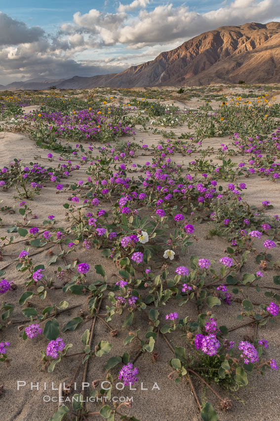 Sand verbena wildflowers on sand dunes, Anza-Borrego Desert State Park. Borrego Springs, California, USA, Abronia villosa, Oenothera deltoides, natural history stock photograph, photo id 30496