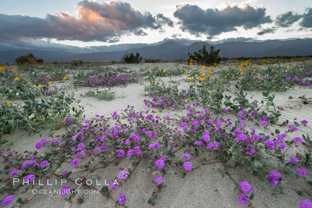 Image 30520, Sand verbena wildflowers on sand dunes, Anza-Borrego Desert State Park. Anza-Borrego Desert State Park, Borrego Springs, California, USA, Abronia villosa
