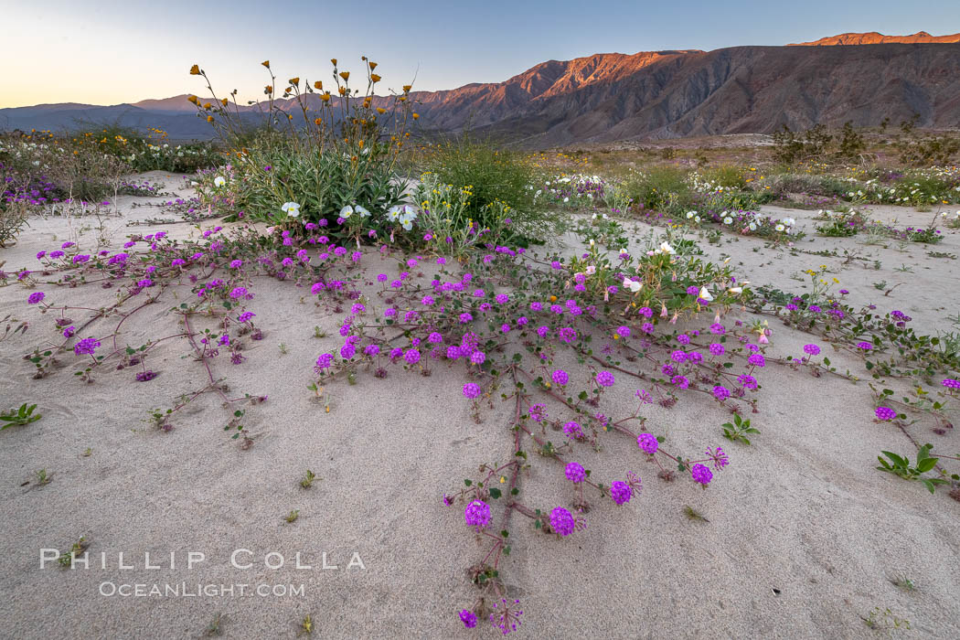 Sand verbena wildflowers on sand dunes, Anza-Borrego Desert State Park. Anza-Borrego Desert State Park, Borrego Springs, California, USA, Abronia villosa, natural history stock photograph, photo id 35206